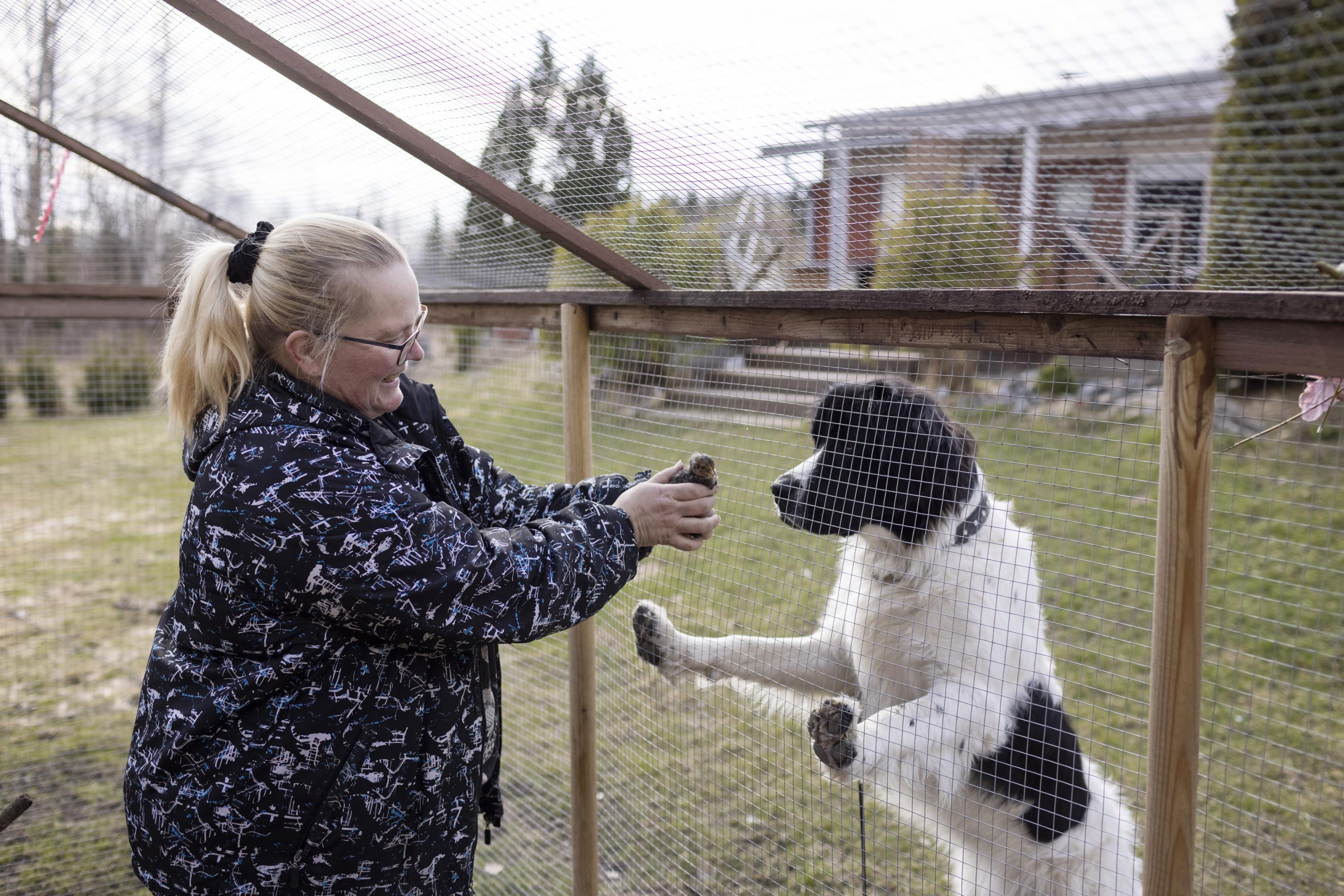 Se on Liisa-tipu. Hilda-koira on Aavajokien on väsymätön kanavahti. Neiti Nokkava on laventelin värinen araucana-rotuinen kanarouva. Tekis hyvää varmaan sullekin, Hilda tuumaa, ja tarjoilee keväänraikkaan suihkun kahluureissun jälkeen Pia Aavajoelle. Aavajoella on hautomakoneessa neljä ankanmunaa.